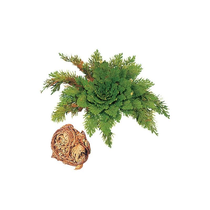 Růže z Jericha - rostlina vzkříšení nebo také DinoPlant